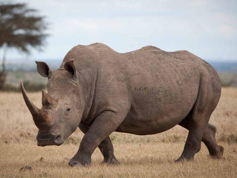Поделка носорог из пластилина для детей: пошаговая инструкция с фото