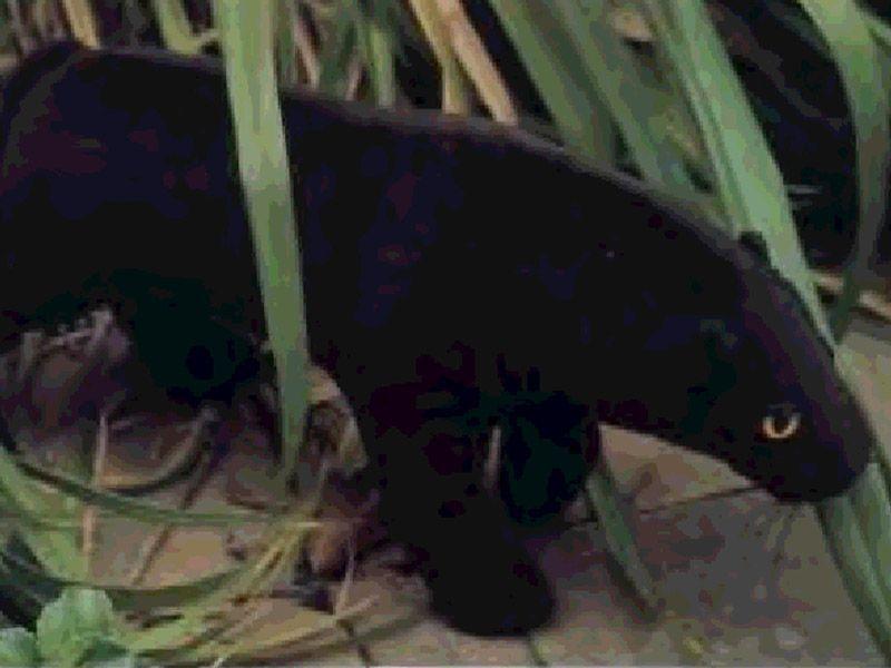 Мягкая игрушка пантера (черный ягуар) своими руками